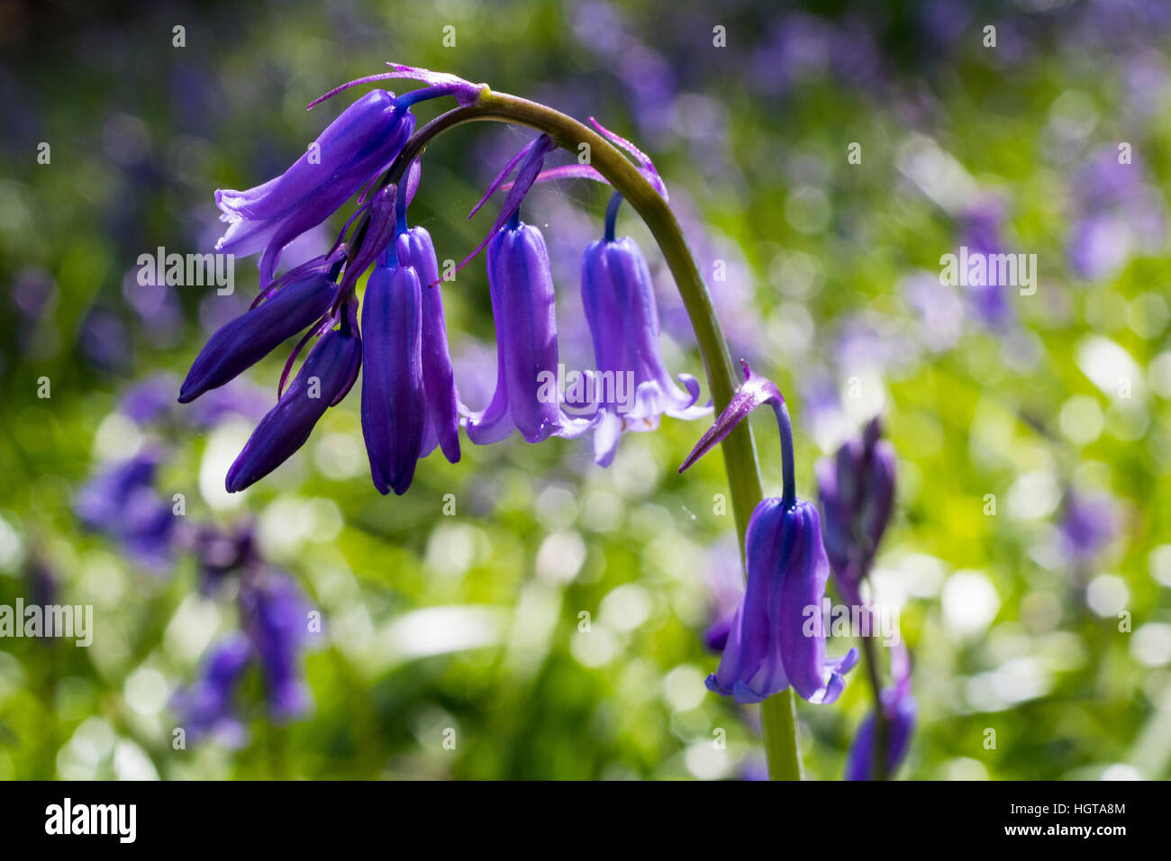 'One in a Million' – Close up Detail of a Single Bluebell Flower (Hyacinthoides non-scripta) Amongst a Large Cluster. - Stock Image