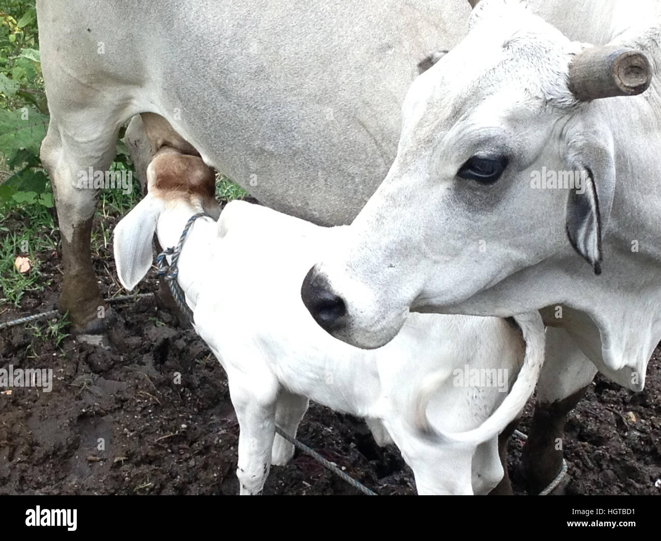 Cow milking her calf - Stock Image