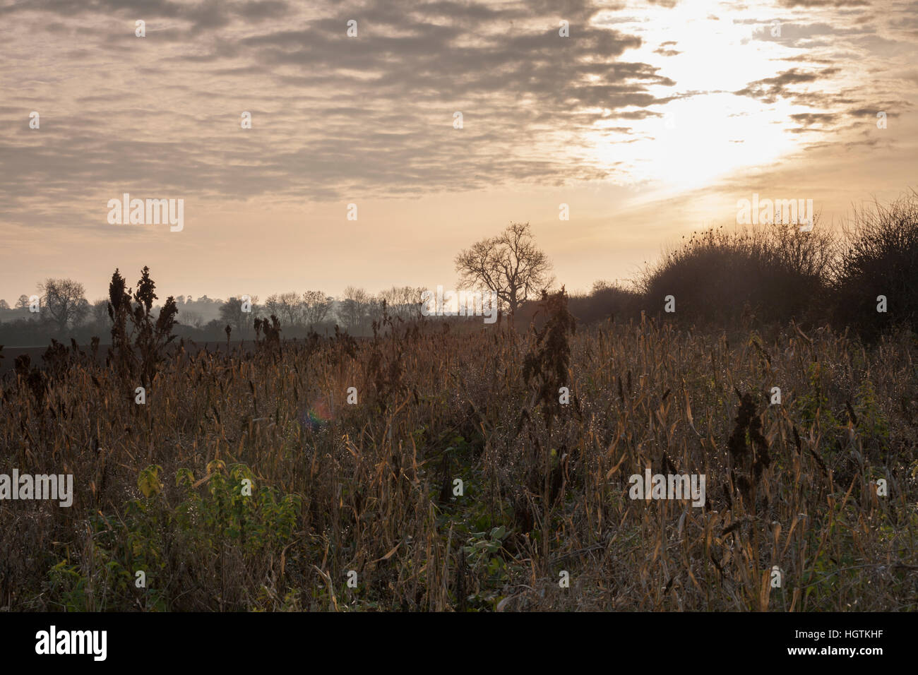 A field margin and hedgerow in late November backlit by low, late afternoon sunshine in Northamptonshire, England, - Stock Image