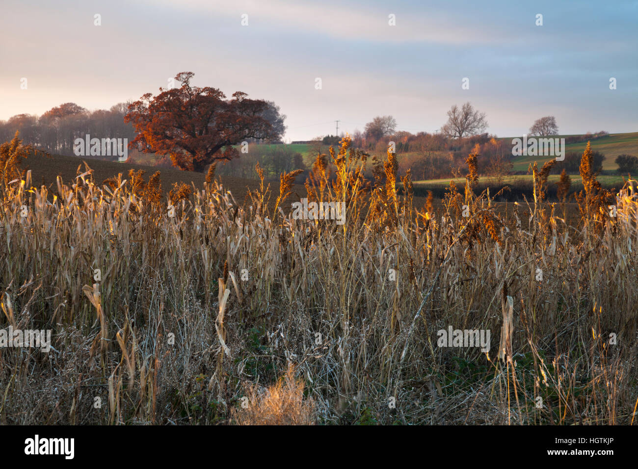 Field margin sown with seed bearing grasses forming a habitat and food source for birds and wildlife, Northamptonshire, - Stock Image