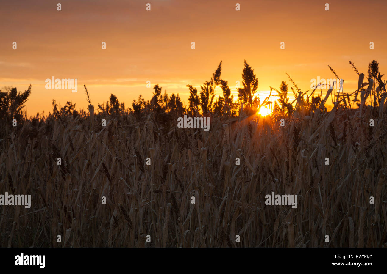 A field margin in winter sown with wild grasses, their seedheads backlit by the setting sun, Northamptonshire, England, - Stock Image