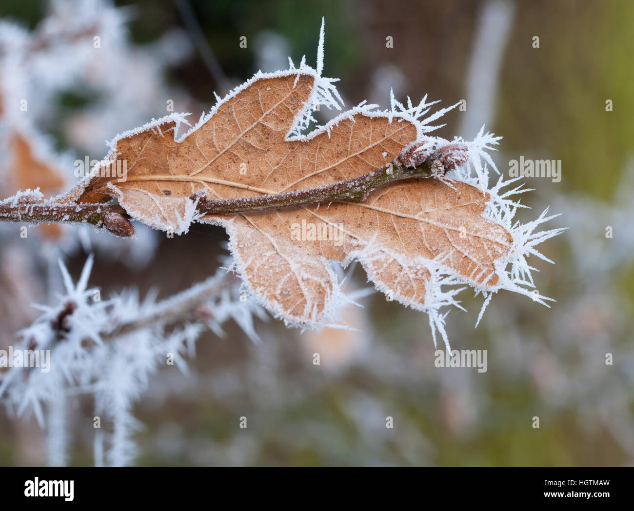 Single oak leaf and twig with new leaf buds formed coated in delicate ice crystal spikes following a hoarfrost, - Stock Image