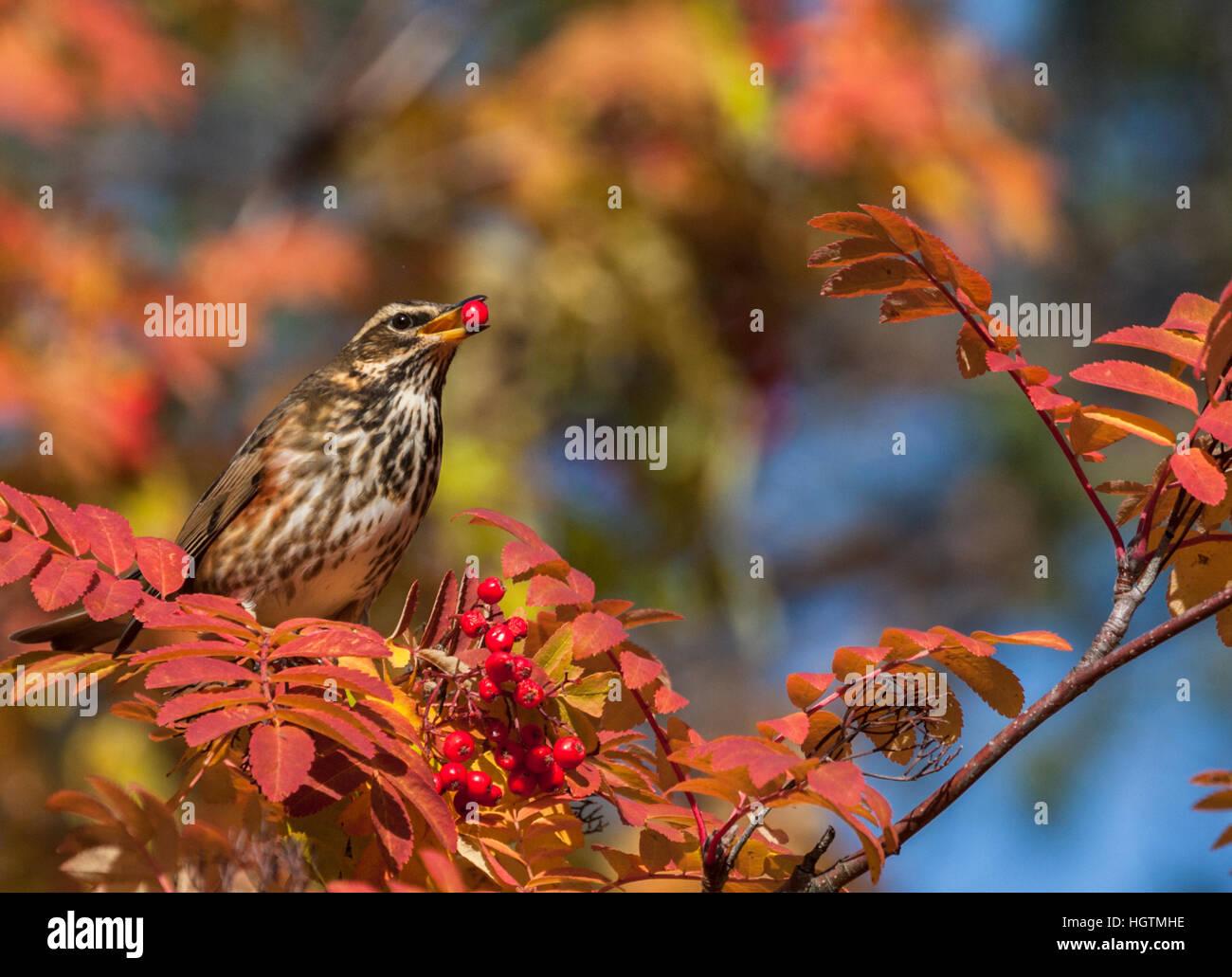 Fieldfare in rowan tree eating rowan berries, having one in his beak, nice autumn color on the tree and leaves, - Stock Image