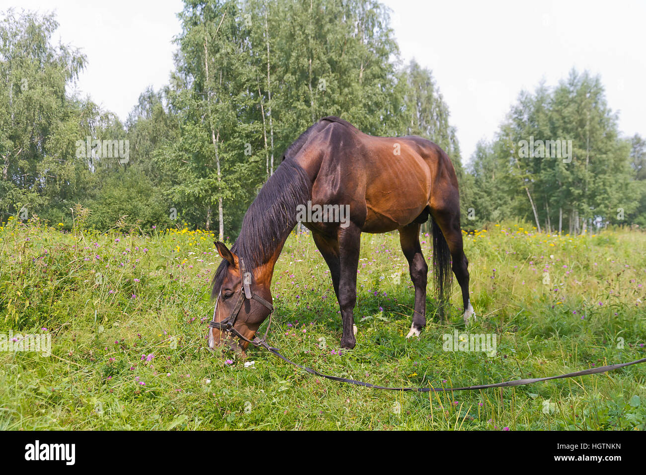 Sorrel horse grazing on a meadow near the forest - Stock Image