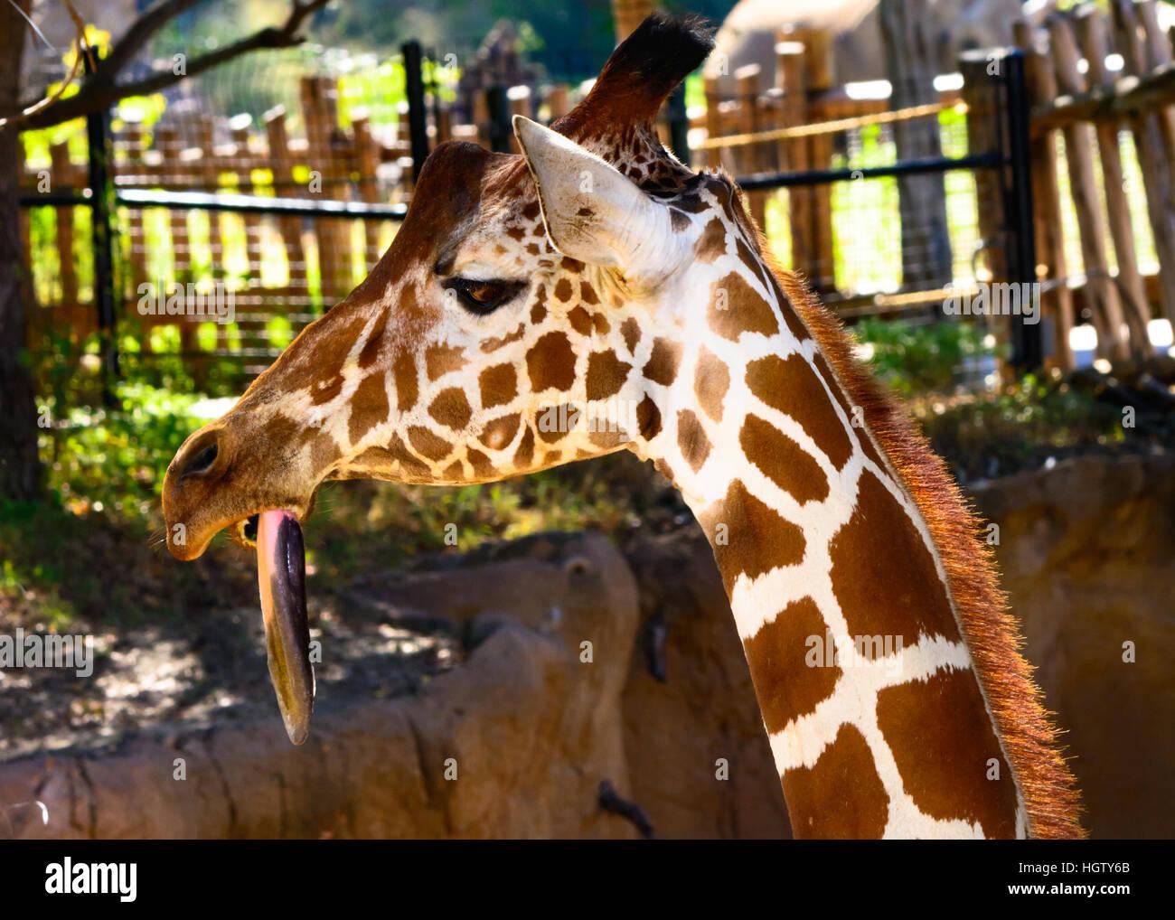 giraffe (Giraffa) with long tongue hanging down, close-up, comical, funny - Stock Image