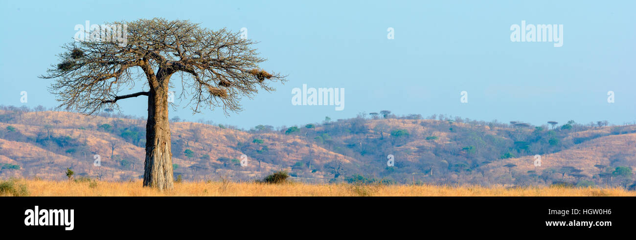 Baobab, dead-rat tree, from the appearance of the fruit, monkey-bread tree, the soft, dry fruit is edible, upside - Stock Image