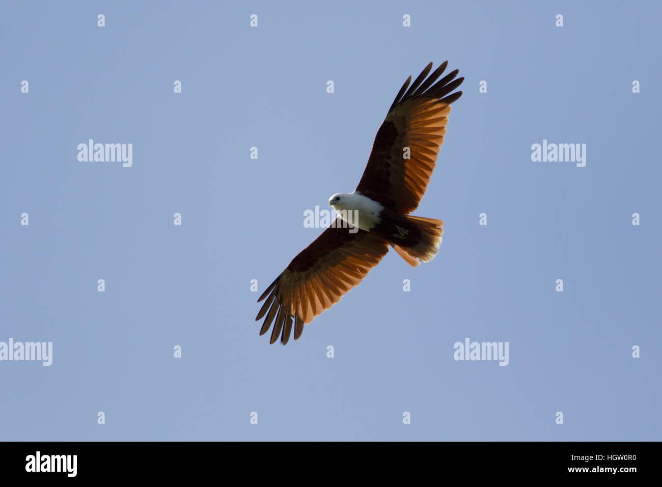 Brahminy Kite - in flight Haliastur indus Gold Coast Queensland, Australia BI031132 Stock Photo