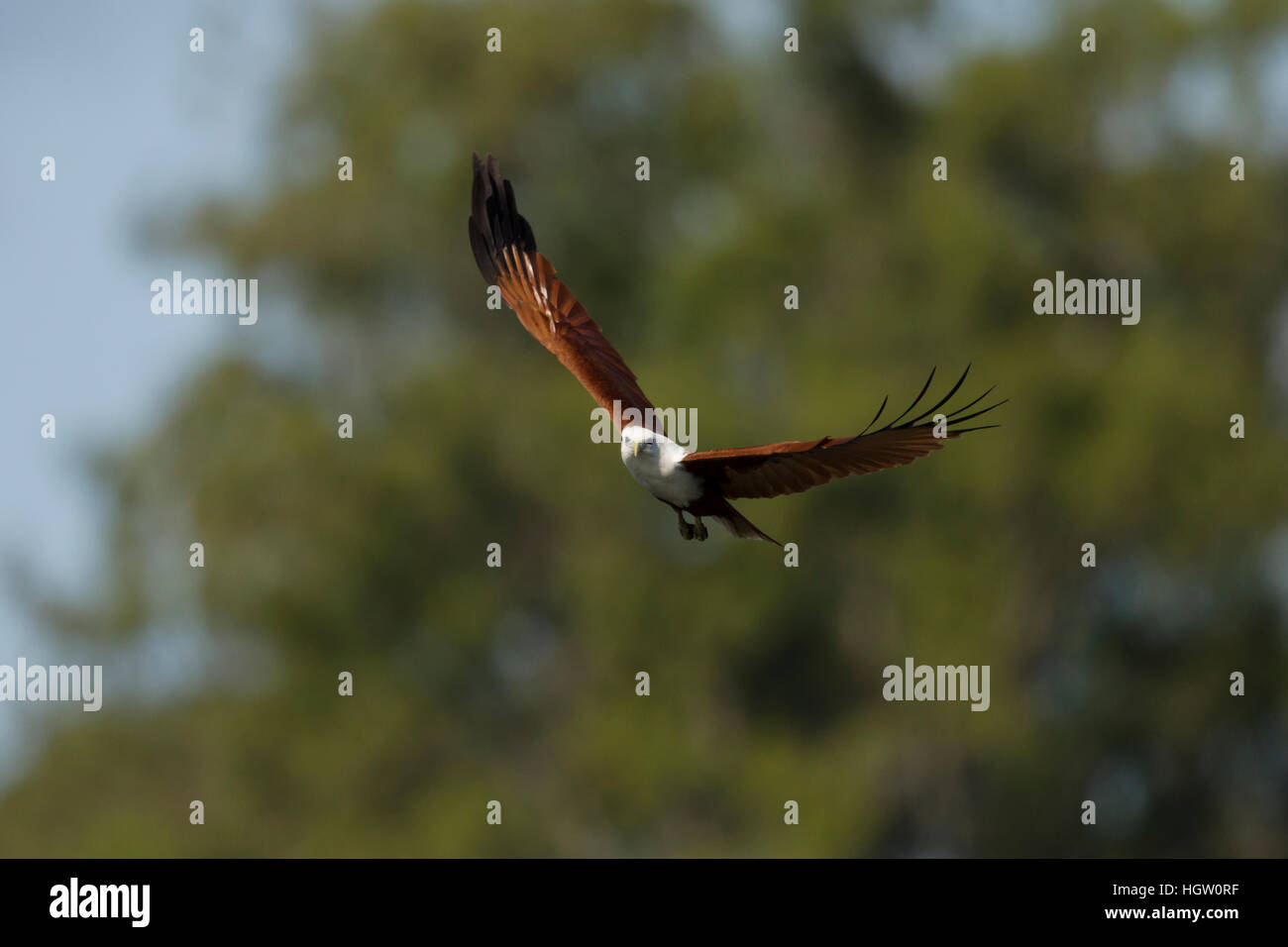 Brahminy Kite - in flight Haliastur indus Gold Coast Queensland, Australia BI031135 Stock Photo