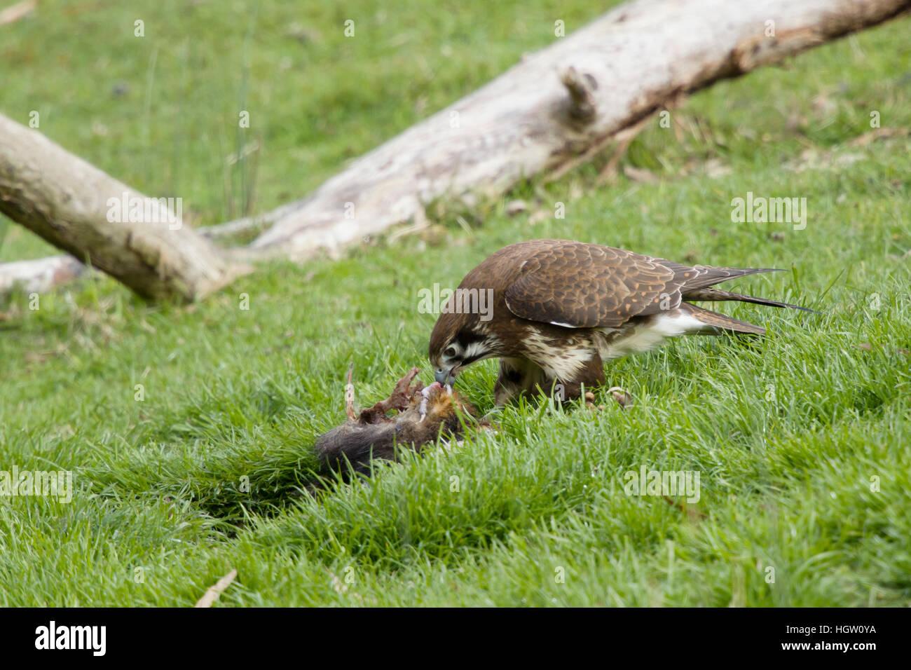 Brown Falcon - feeding on dead wallaby Falco berigora Bruny Island Tasmania, Australia BI031161 Stock Photo