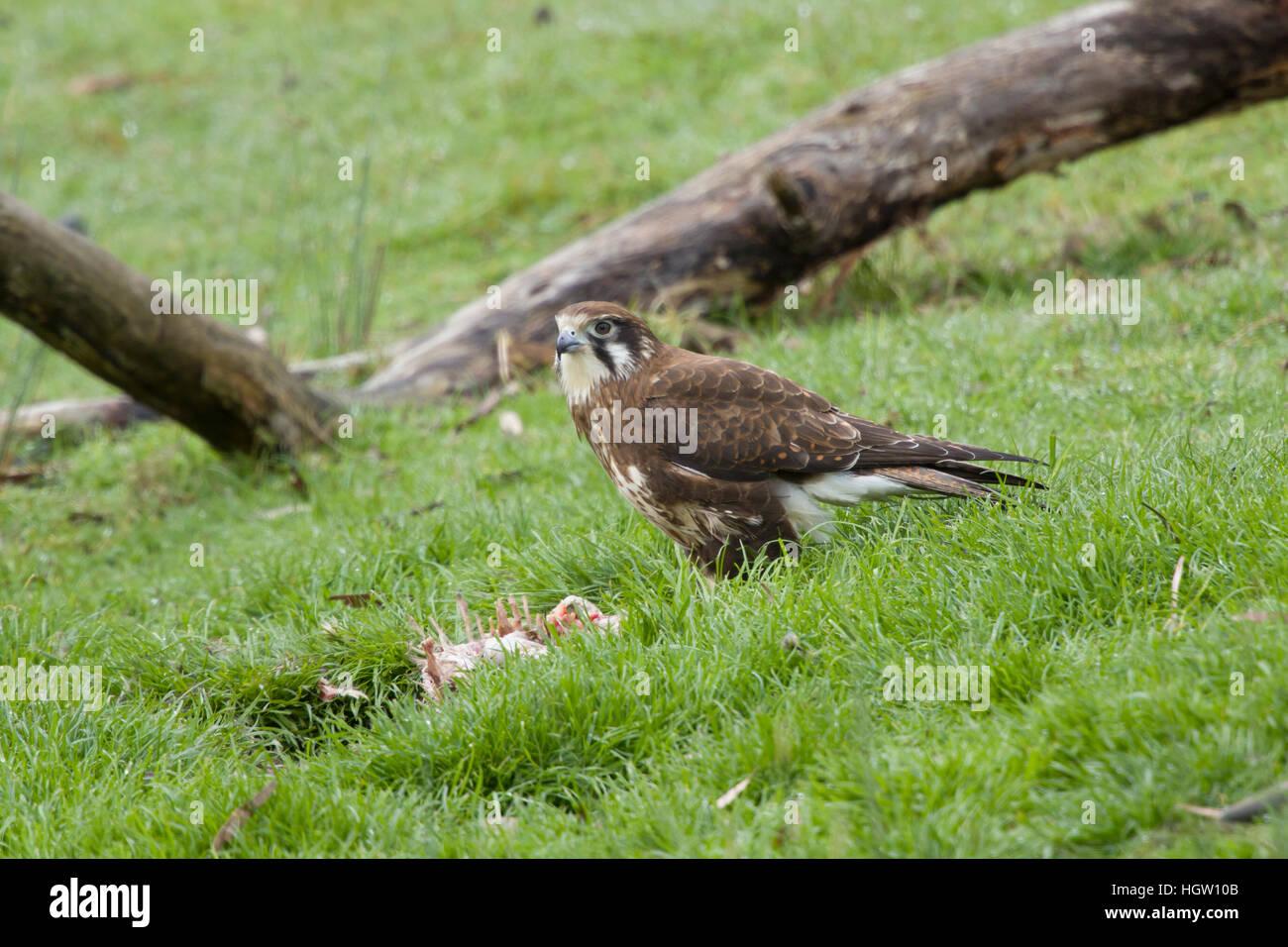 Brown Falcon - feeding on dead wallaby Falco berigora Bruny Island Tasmania, Australia BI031162 Stock Photo