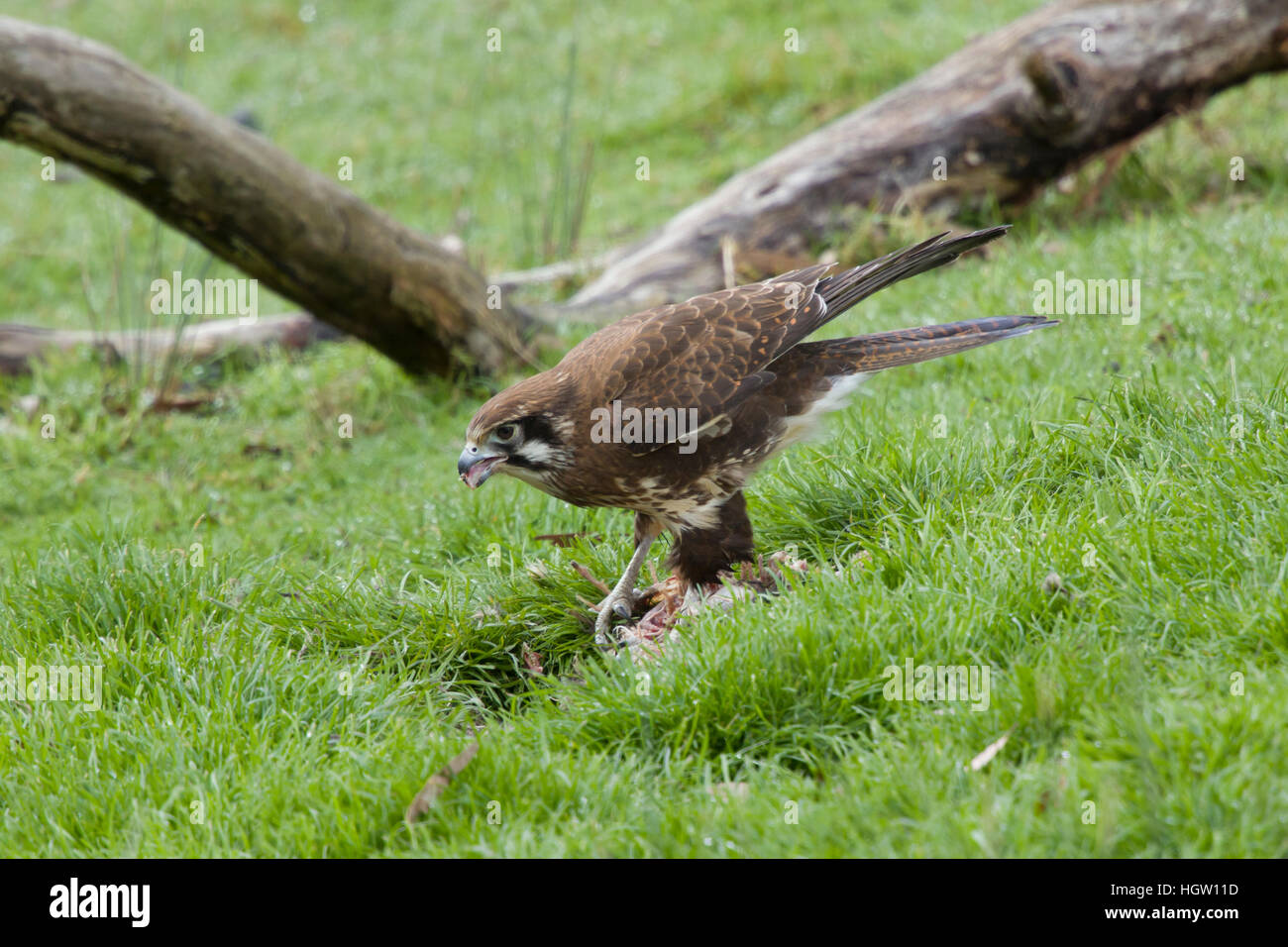Brown Falcon - feeding on dead wallaby Falco berigora Bruny Island Tasmania, Australia BI031167 Stock Photo