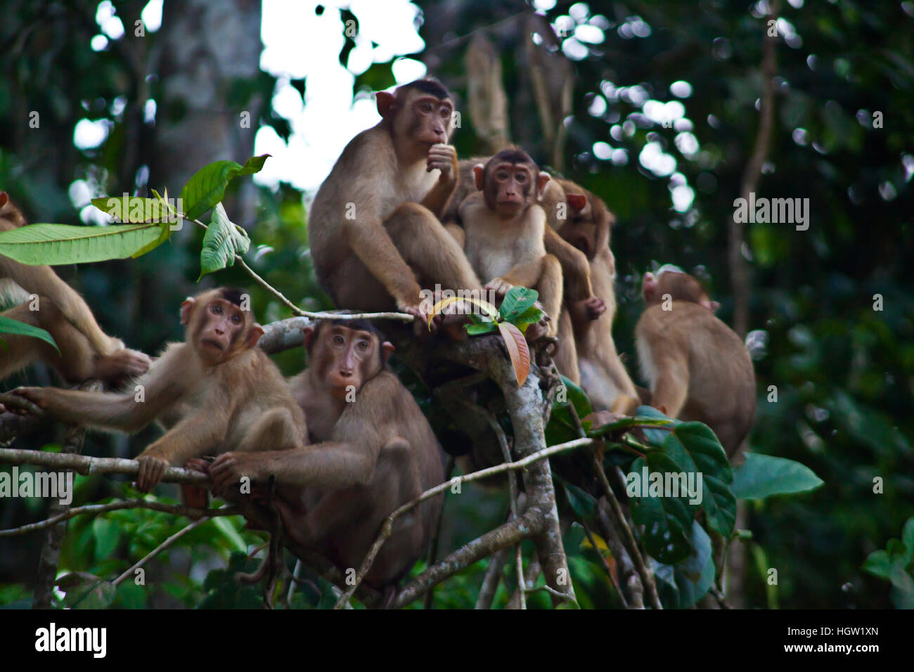 A Troupe Of Short Tailed Or Stump Tailed Macaques, Macaca Arctoices, In The Kinabatangan River Wildlife Sanctuary, Stock Photo