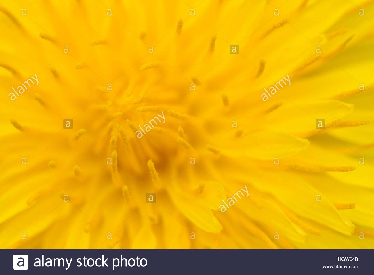 Macro image of dandelion center and its pollen. - Stock Image