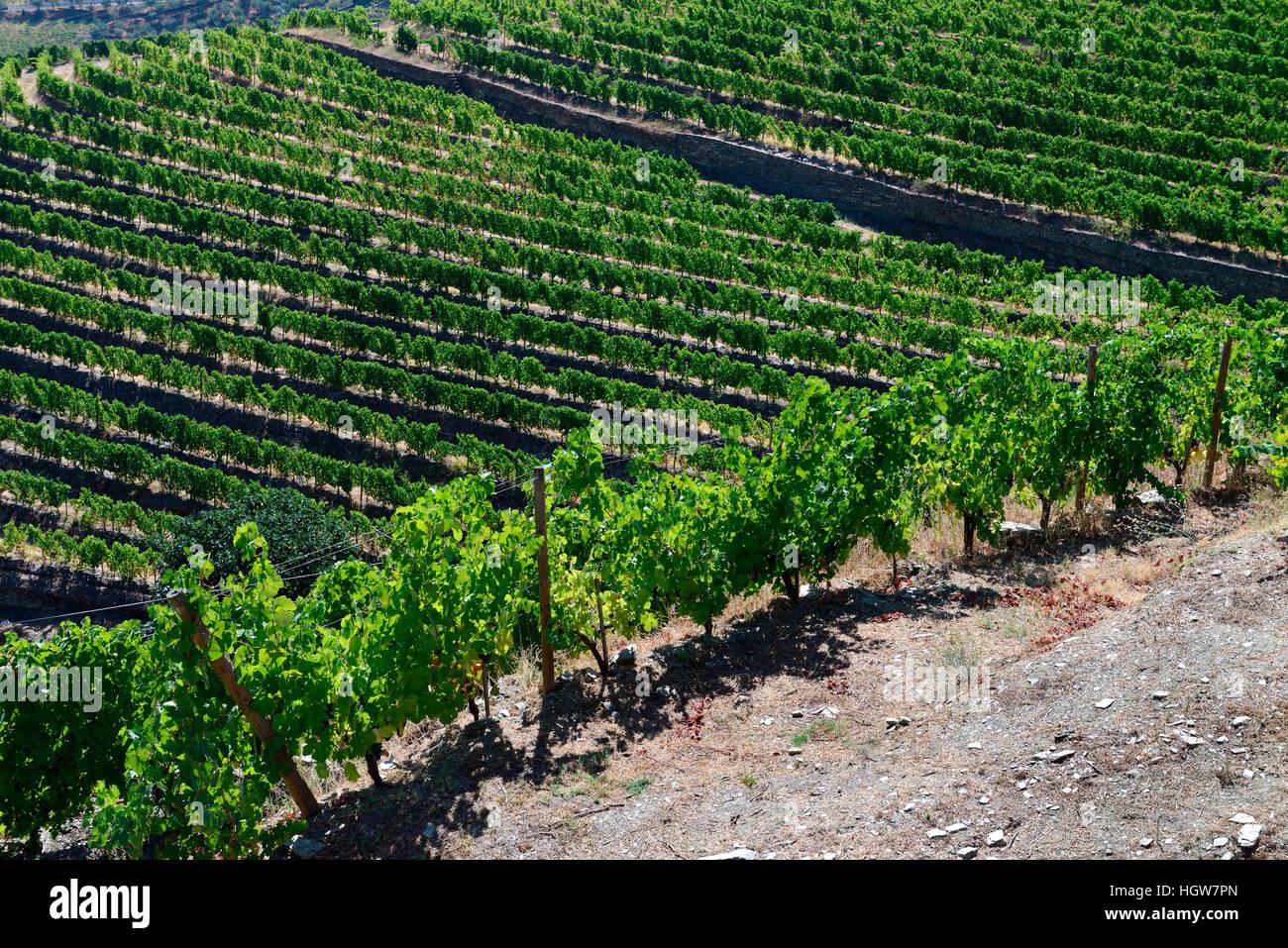 Weinberge am Douro, Douro, Douro-Tal, Portugal, Europa, Portwein - Stock Image