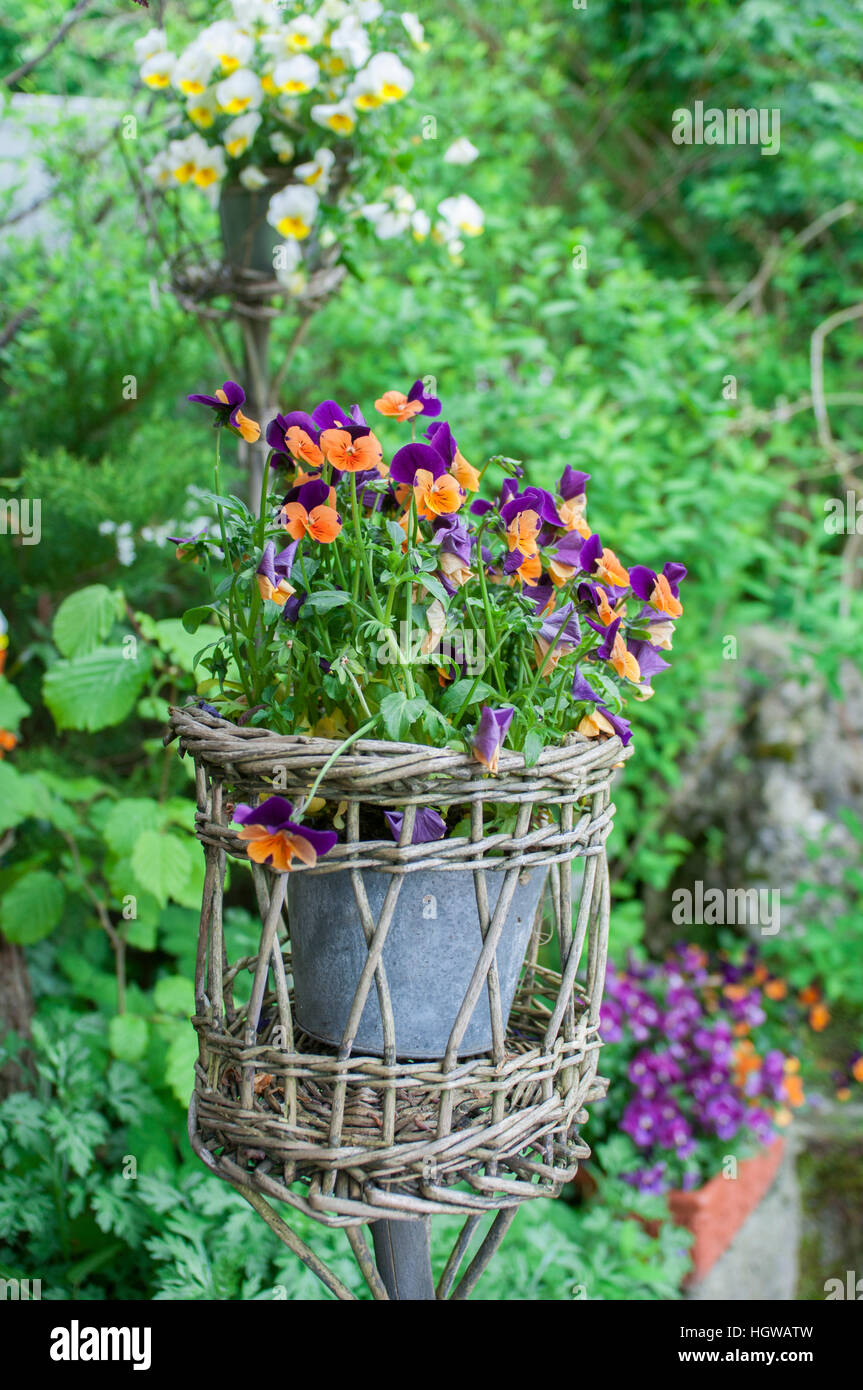 Decorative Garden pansy (Viola wittrockiana) - Stock Image