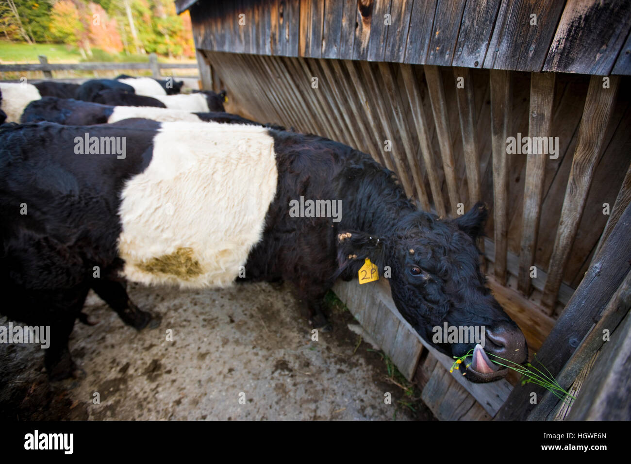 Belted Galloway cows at the Albermarle Farm in Camden, Maine.  Fall. - Stock Image