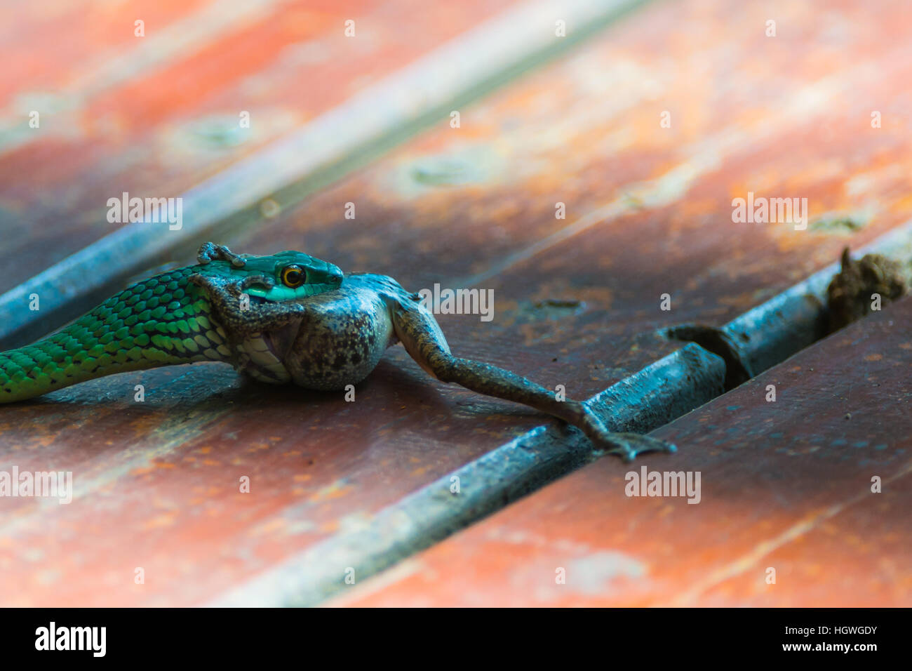 Green spotted tree snake eating frog Stock Photo