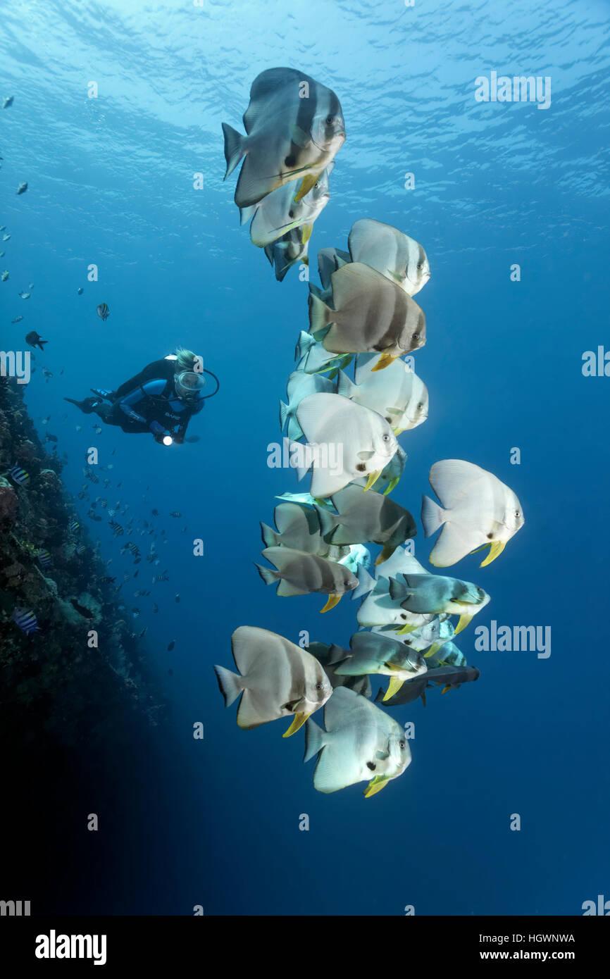 Divers observe group of longfin batfish (Platax teira), wreck of the Skipjack II, Lhaviyani Atoll, Maldives - Stock Image