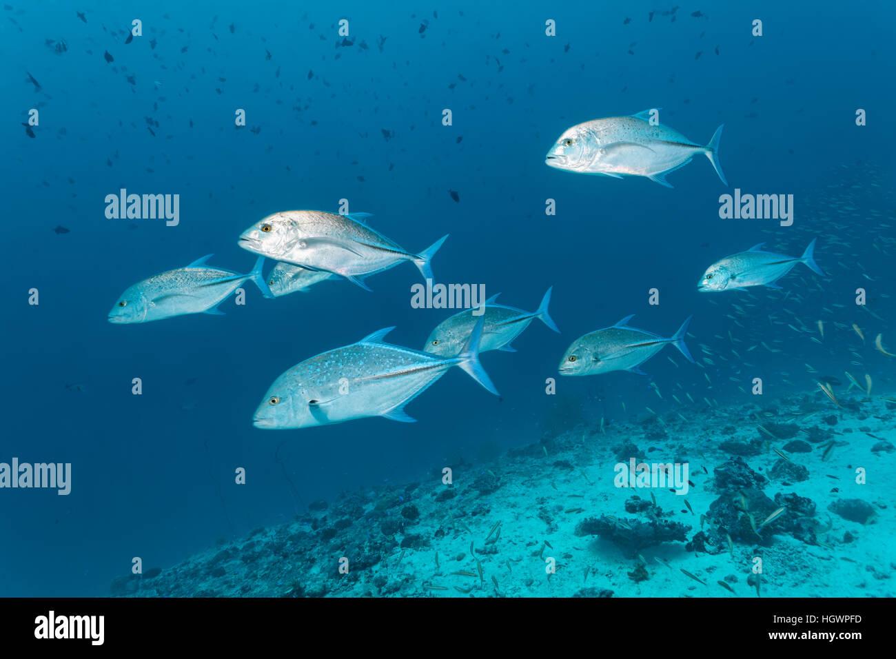 School of bluefin trevally (Caranx melampygus), chasing small fish on coral reef, Lhaviyani Atoll, Maldives - Stock Image