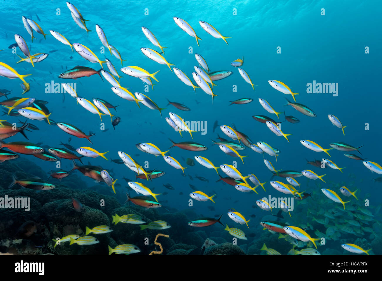 School of yellowback fusiliers (Caesio xanthonota) and neon fusiliers (Pterocaesio tile), swimming over coral reef Stock Photo