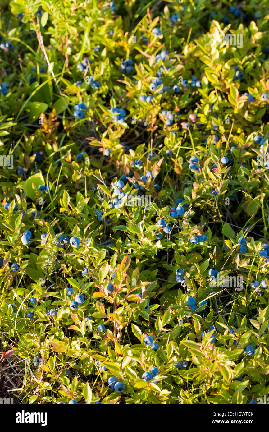 Ripe lowbush blueberries on a hilltop in Alton, New Hampshire. - Stock Image