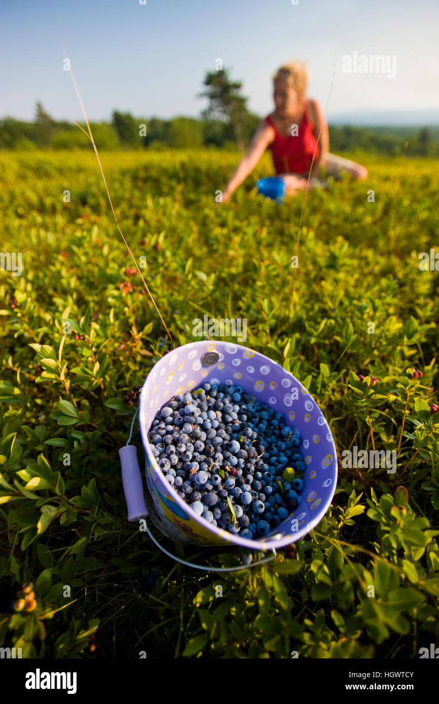 A bucket filled with ripe lowbush blueberries on a hilltop in Alton, New Hampshire. - Stock Image