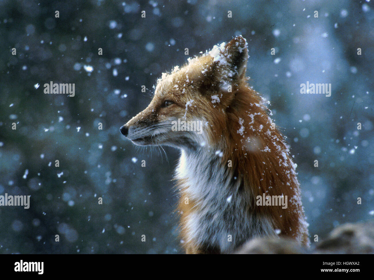 Fox on a snowy day - Stock Image