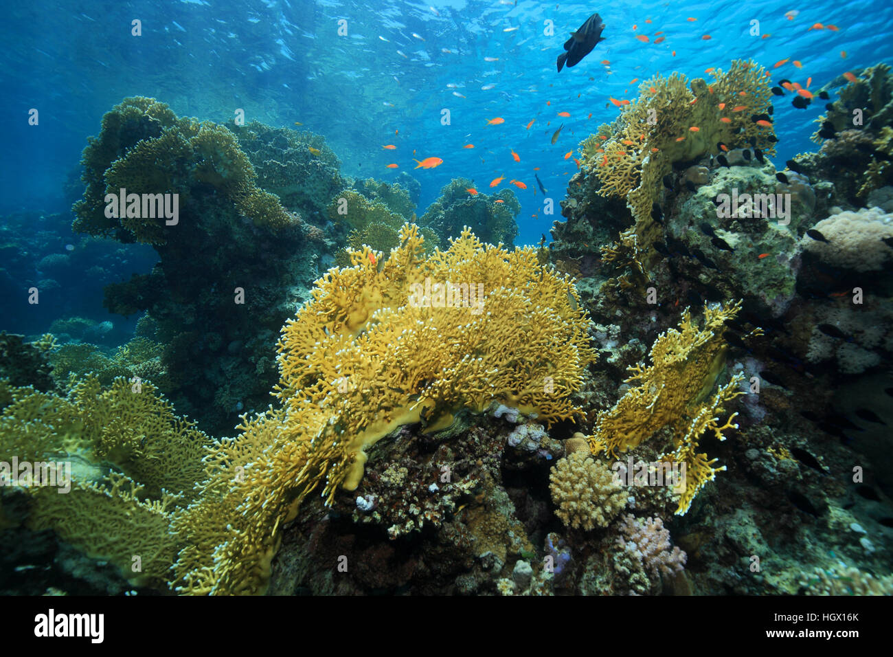 Fire coral (Millepora dichotoma) underwater in the coral reef - Stock Image