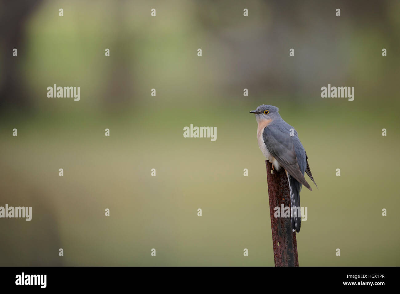 Fan Tailed Cuckoo (cacomantis flabelliformis) - Australia - Stock Image