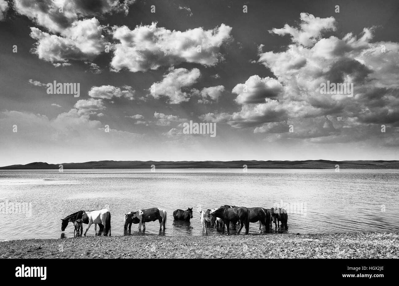 Horses at the edge of Lake Ugii in Mongolia, Asia - Stock Image