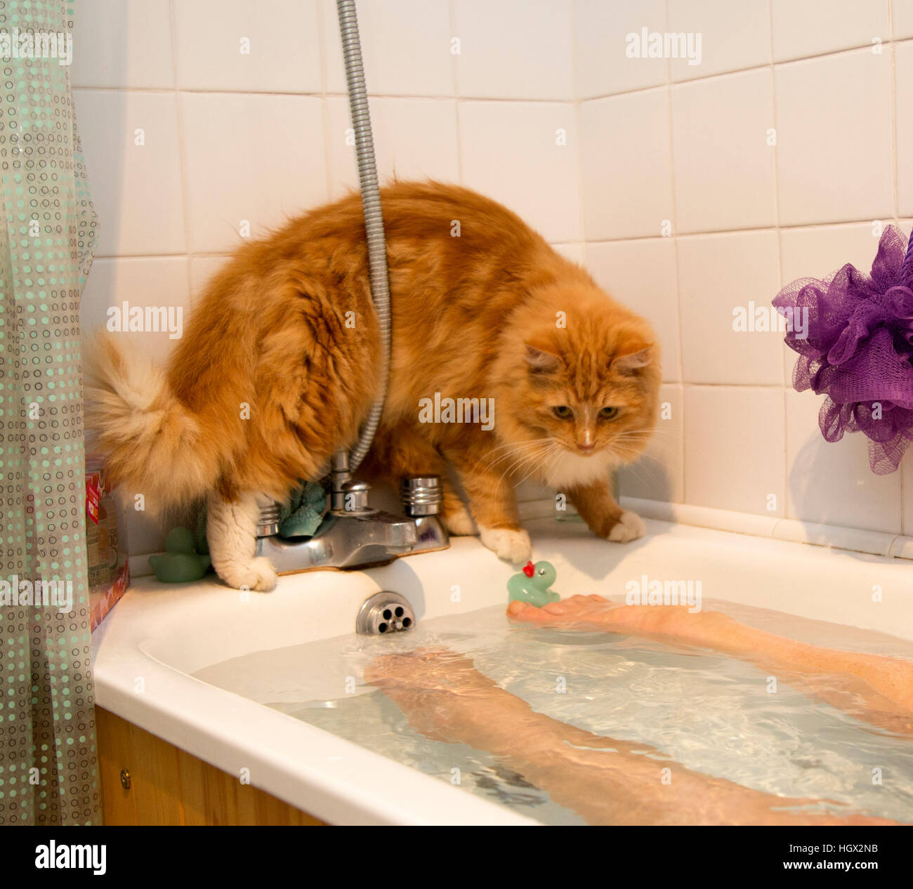 A ginger kitten/cat balances on the edge of a bath tub whilst a woman is bathing. - Stock Image