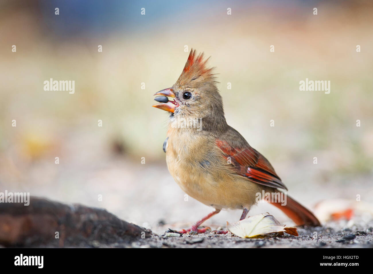 A female Northern Cardinal holds a seed in its beak as it eats on the ground - Stock Image
