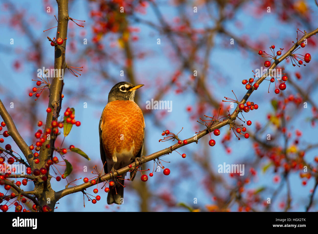An American Robin perches on a branch full of red berries as the early morning sun shines on. - Stock Image