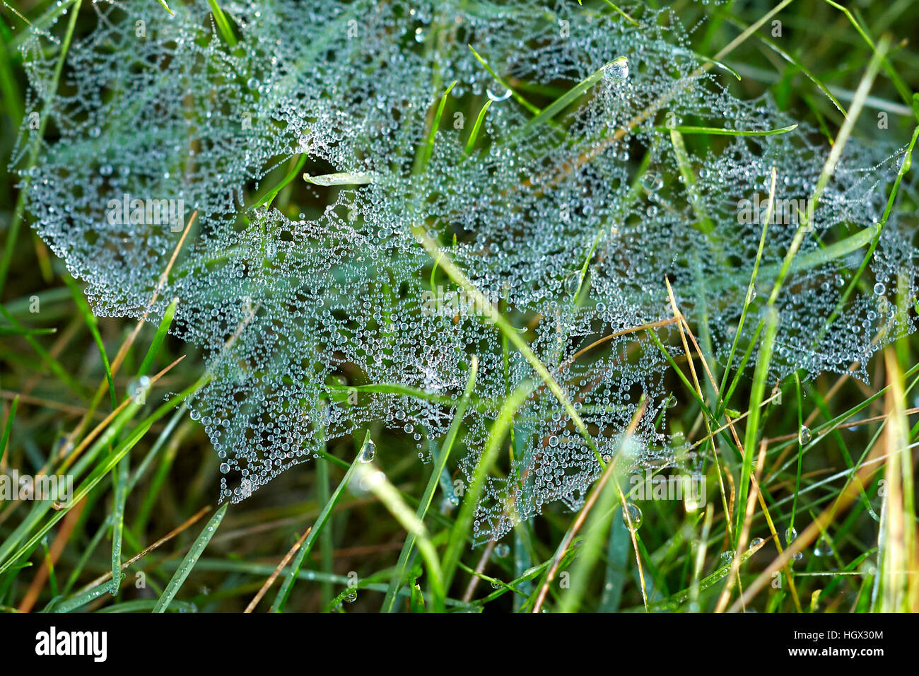 Cobweb in grass covered in morning dew - Stock Image
