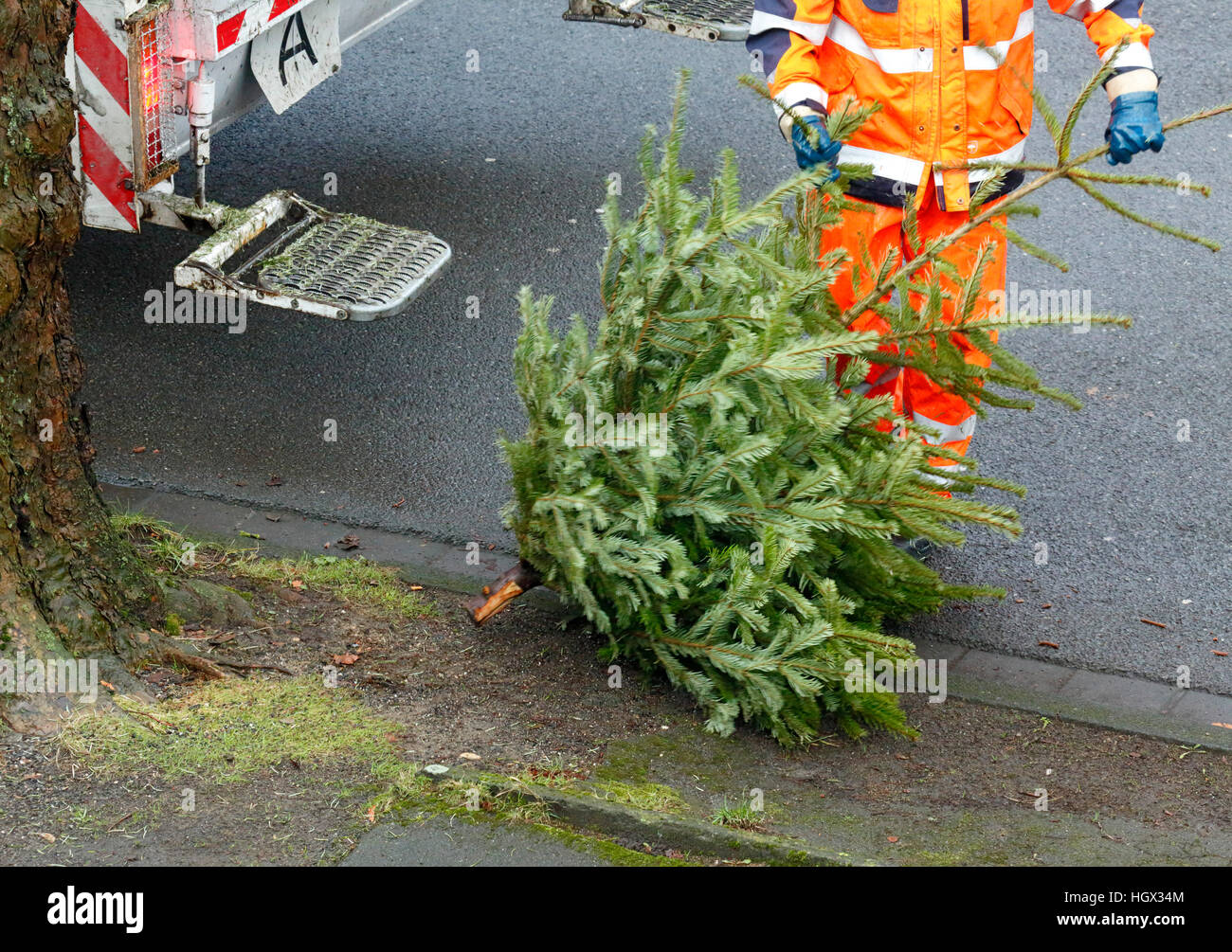collection of a Christmas tree after the Christmas festival by a binman for disposal, refuse management, trash removal, Stock Photo