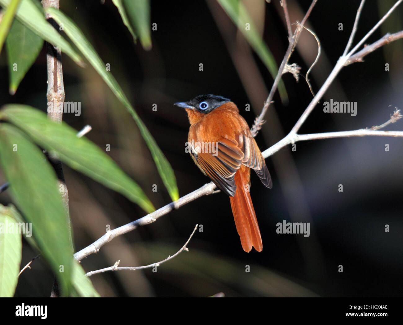 Bird, Madagascar Paradise Flycatcher, Parc National de L'Isalo, Madagascar Stock Photo