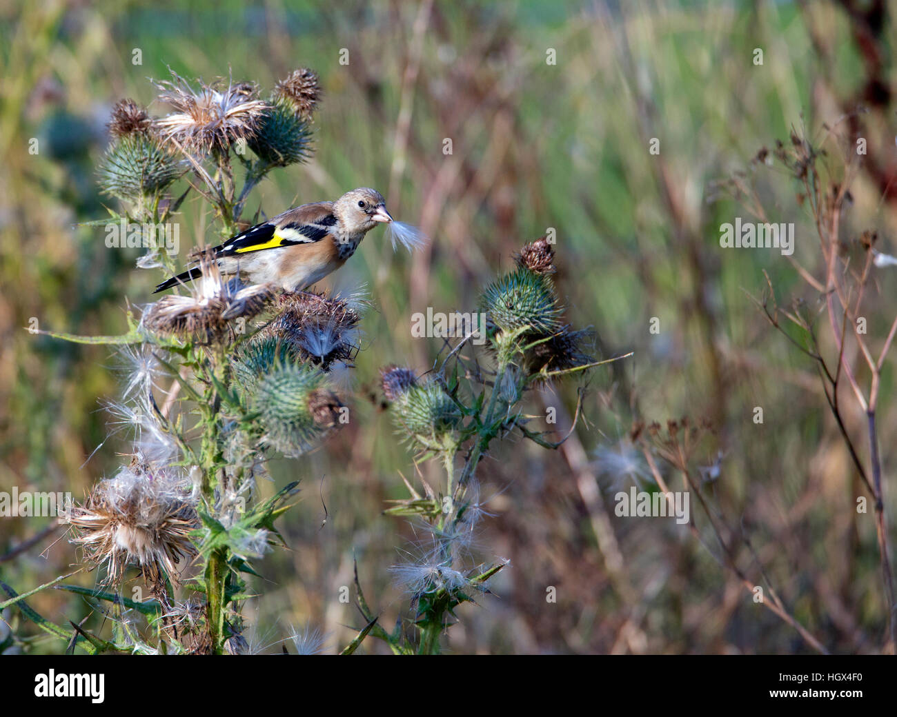 Juvenile Goldfinch (Carduelis carduelis) feeding on  thistle (Cirsium vulgare) the bird has a white thistle plume - Stock Image