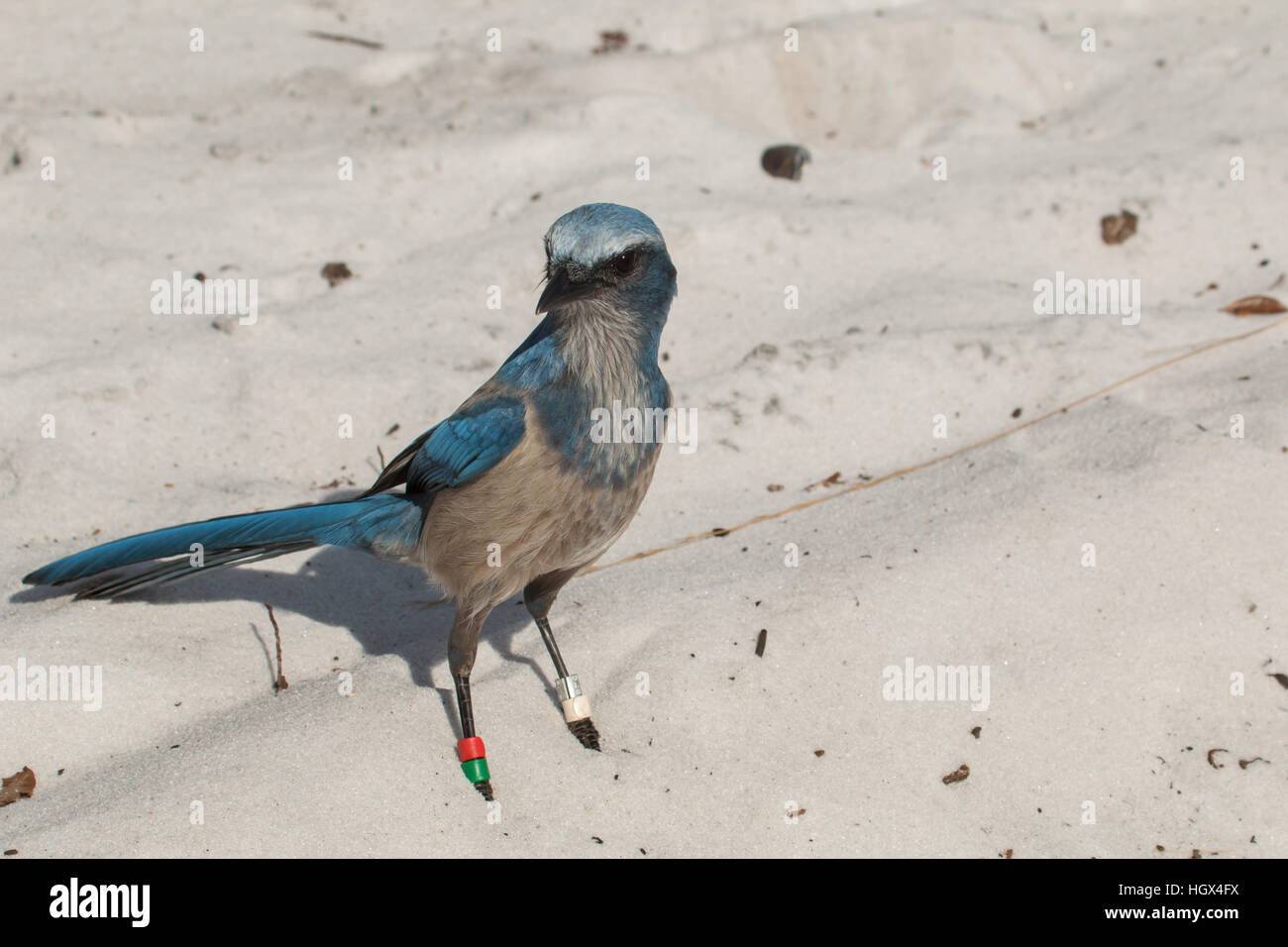 Close up of a Florida scrub jay foraging for food - Aphelocoma coerulescens Stock Photo