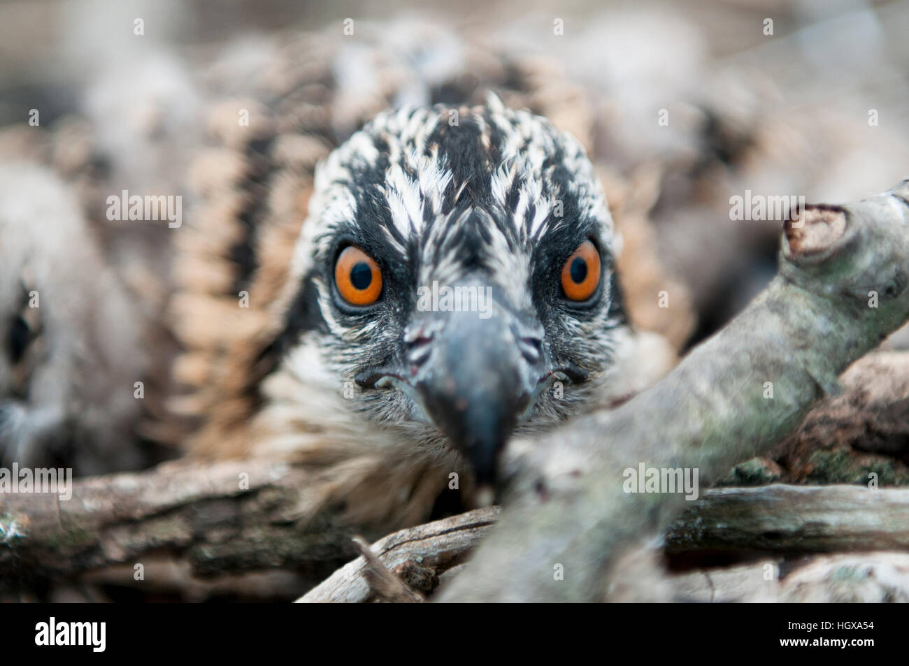A close up featuring the bright orange eyes of a young Osprey sitting in its nest trying to stay hidden - Stock Image