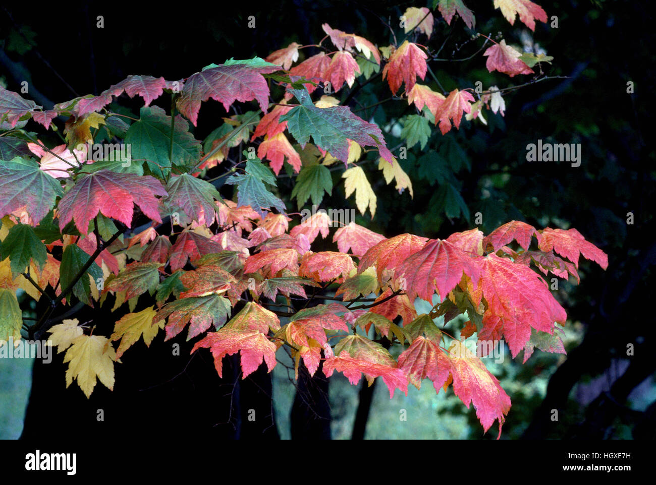Autumn Leaves - Maple Leaves in Fall Colours / Colors - Stock Image