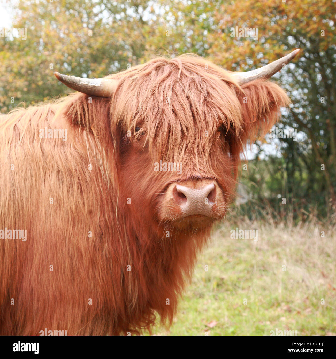 Highland cow in the meadow in autumn - Stock Image