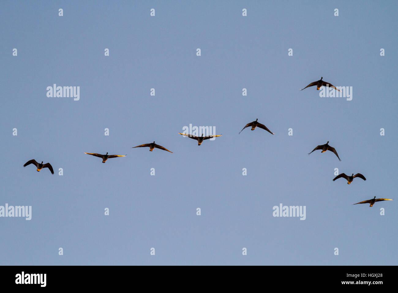 Migratory barnacle geese (branta leucopsis) catching the light of the rising sun, Isle of Islay, Scotland - Stock Image