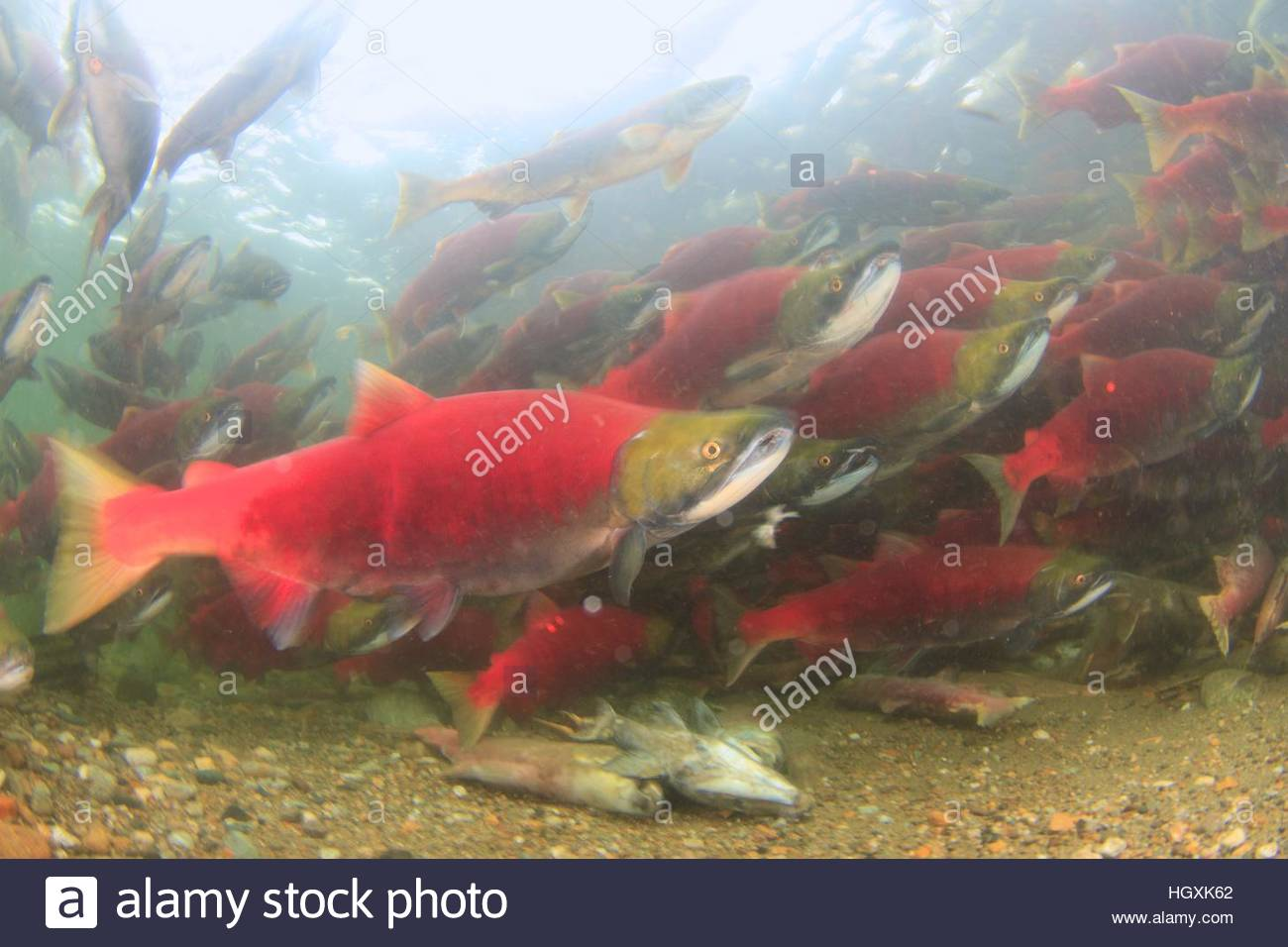 Bright Red Fish Stock Photos & Bright Red Fish Stock Images - Alamy