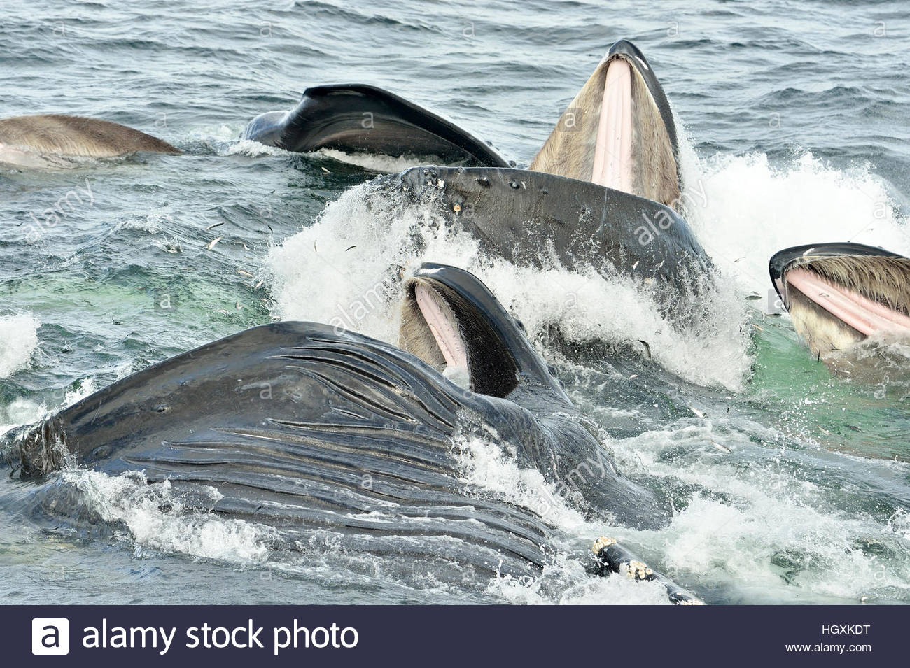 Close-up of the baleen's of Humpback whales breaking the surface as they bubble net feed in the waters near - Stock Image