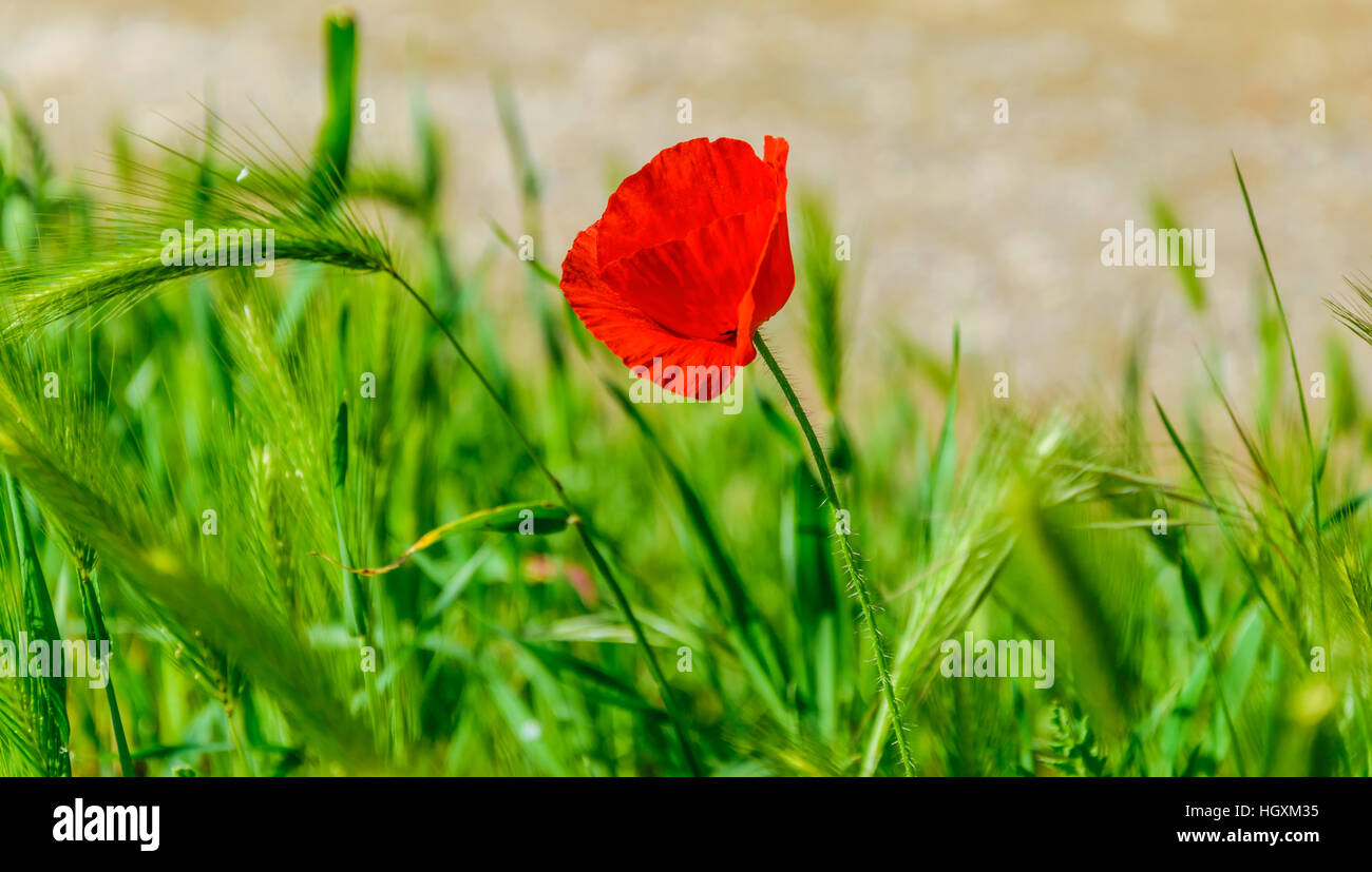 Red poppy flower amid wheat plant - Stock Image