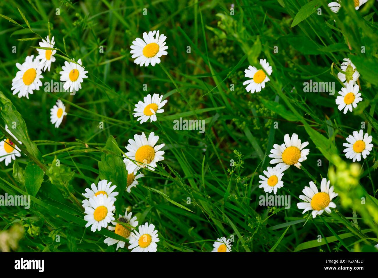 Flowers margaritas amid greenery - Stock Image