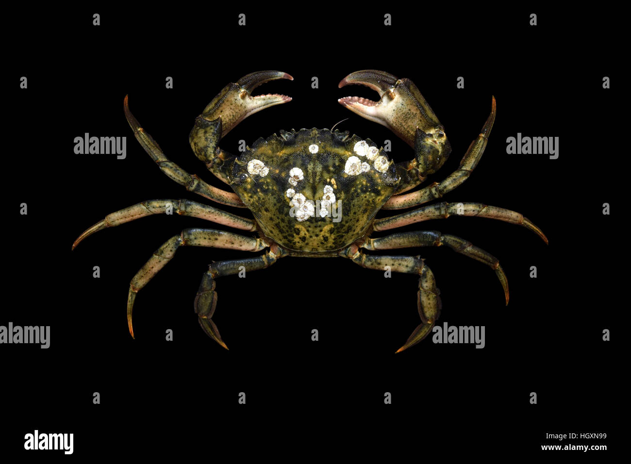Alive specimen of European invasive crab species. - Stock Image