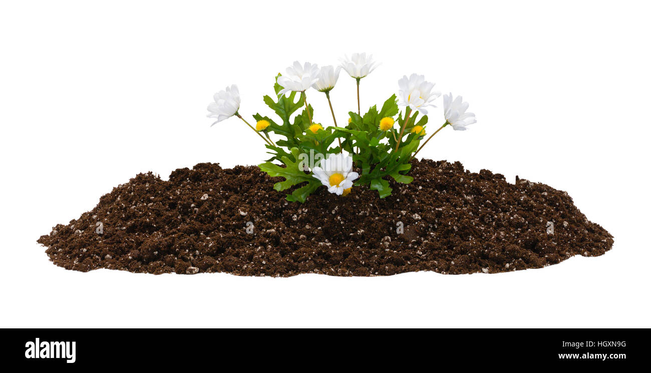 Small Pile of Dirt with Fake Flowers Isolated on White Background. - Stock Image