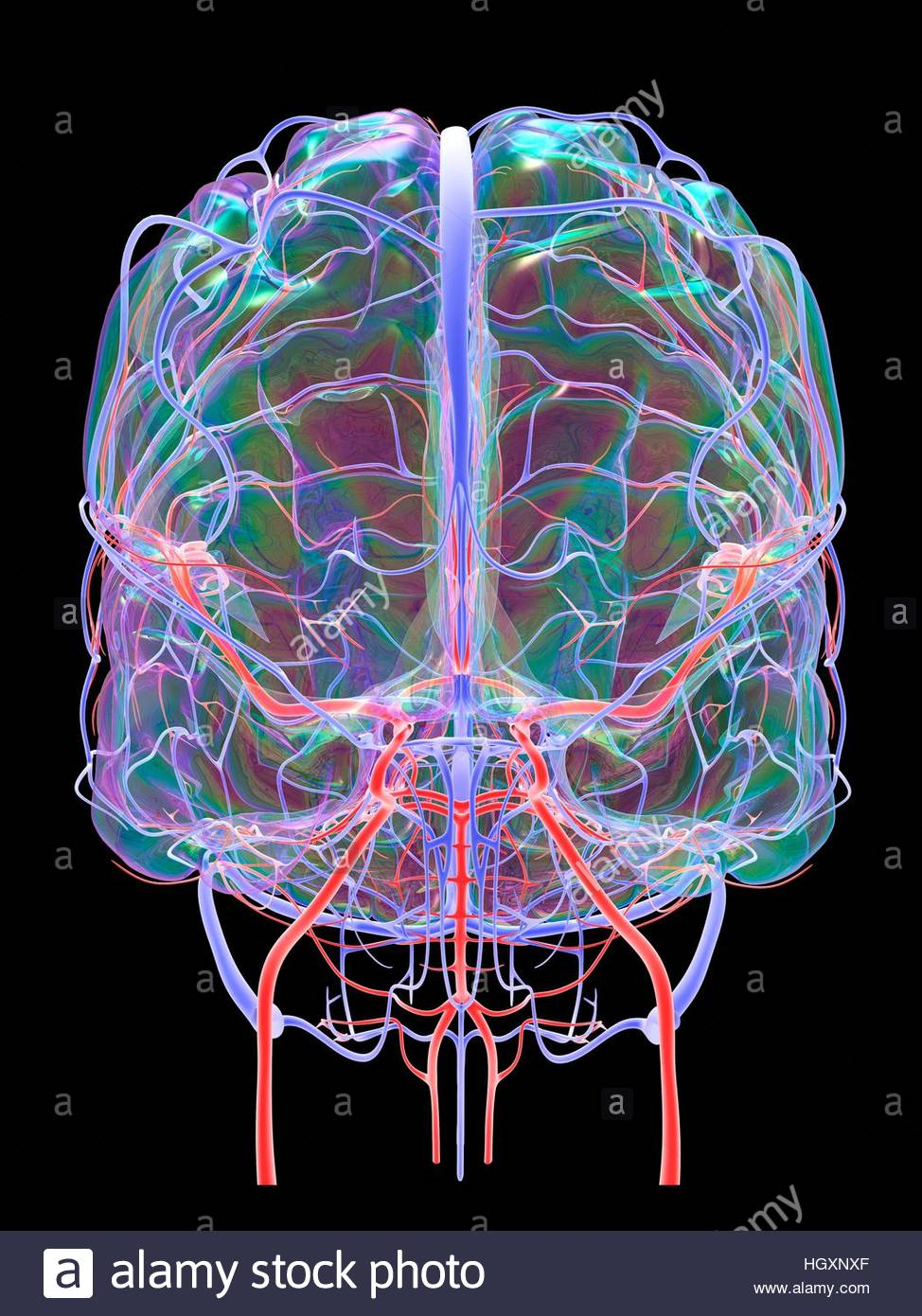 Brain vascular system and blood supply. Artwork showing the brain ...