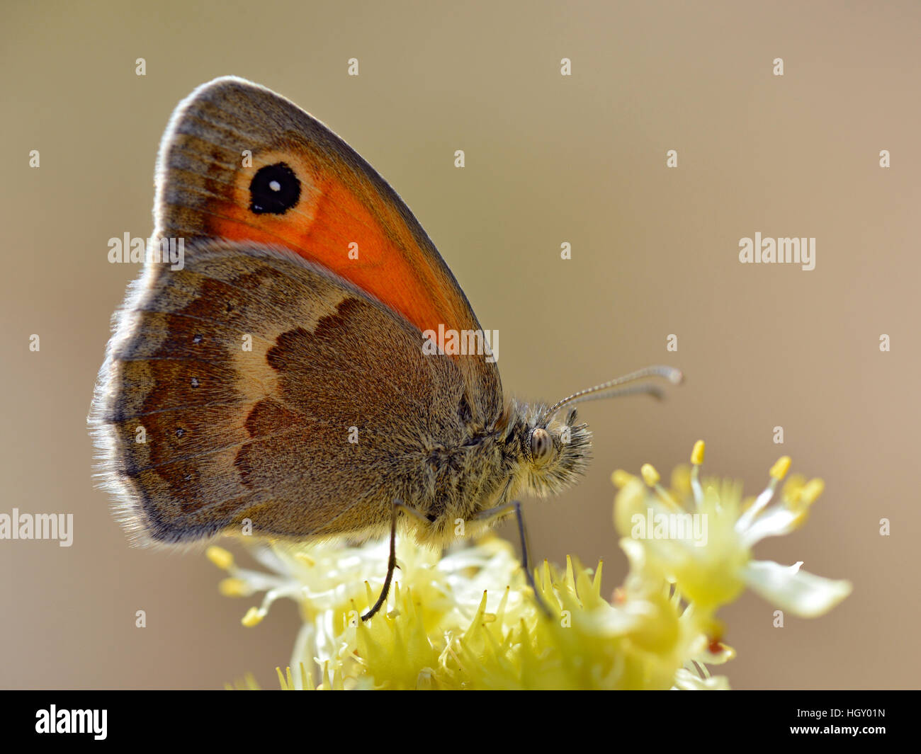 Closeup Small heath butterfly (Coenonympha pamphilus) on yellow flower viewed from profil on brown background - Stock Image